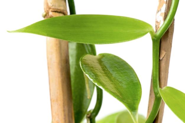 Folhas verdes baunilha isoladas no fundo branco.