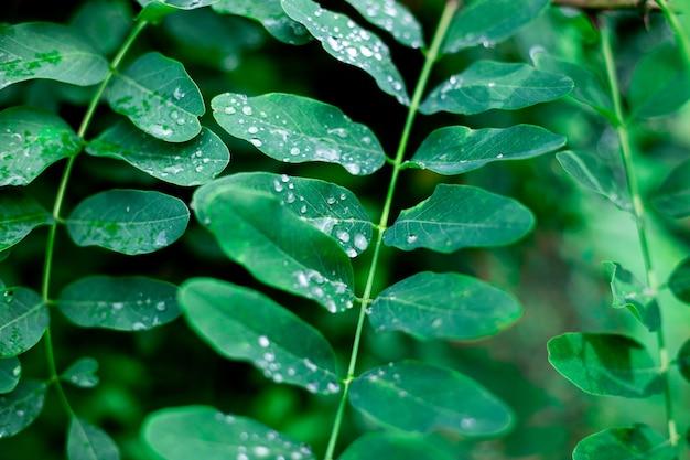 Folhas verdes brilhantes de acácia com gotas de chuva. belo fundo vegetativo.