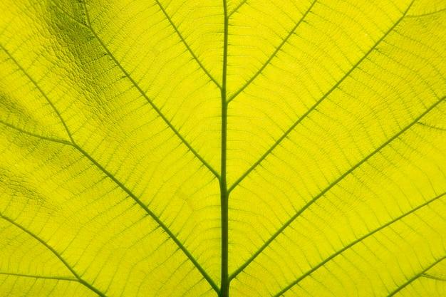Folhas verdes claras, folhas de teca douradas
