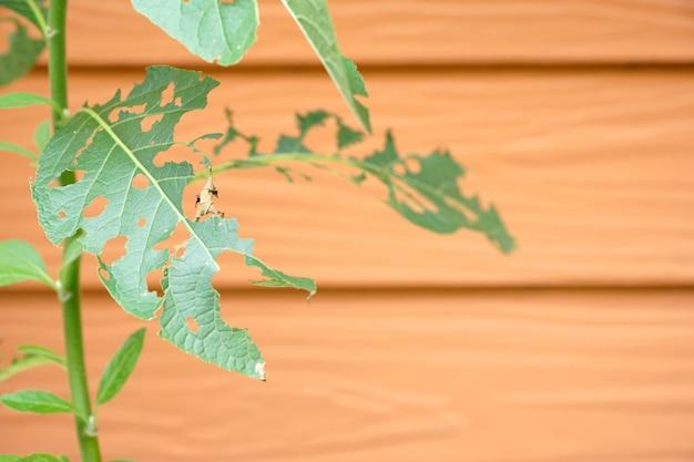 Folhas verdes com furo de pragas ou verme comer