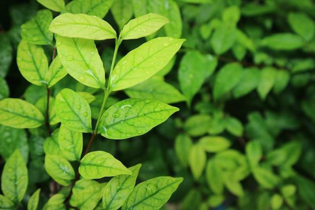 Folhas verdes com gotas de água após a chuva