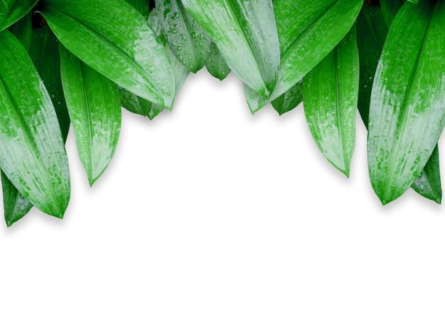 Folhas verdes com gotas de água isoladas no fundo branco