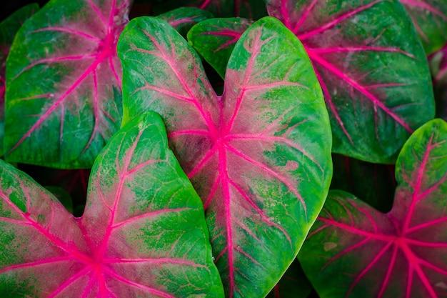 Folhas verdes com lindas listras cor de rosa