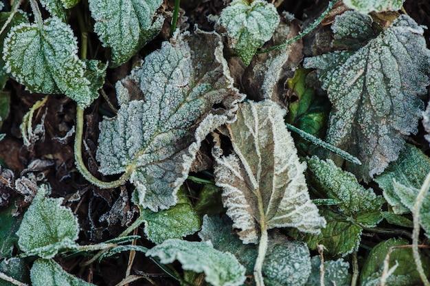 Folhas verdes congeladas cobertas de geada. fechar-se.