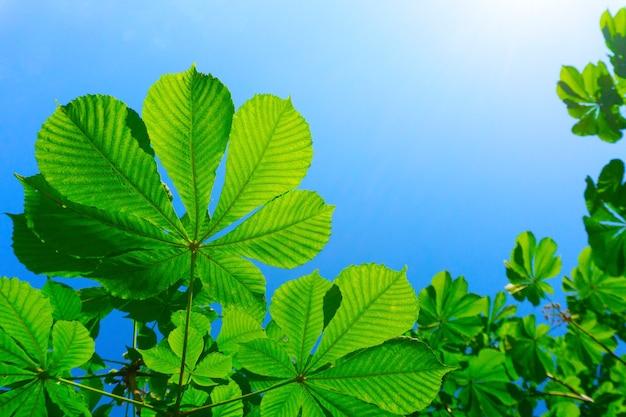 Folhas verdes contra o céu azul, folhas de castanheiro e sol em um fundo de natureza