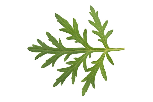 Folhas verdes da artemísia ou artemísia annua isoladas no fundo branco com vista do clipping path.top, flat lay.