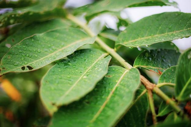 Folhas verdes da árvore na estação das chuvas com textura.
