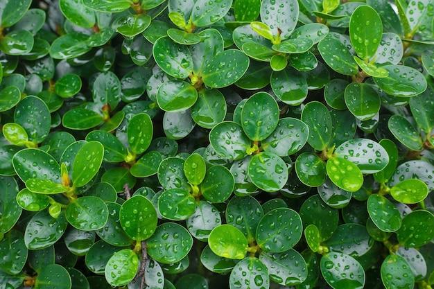 Folhas verdes da figueira-da-índia coreana com gotas de chuva nas folhas usadas como pano de fundo.