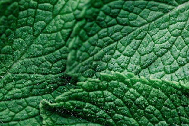 Folhas verdes da hortelã