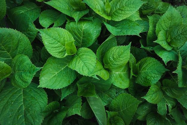Folhas verdes da hortênsia com pingos de chuva.