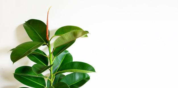 Folhas verdes da planta da borracha.