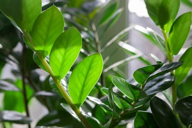 Folhas verdes da planta de casa de zamioculcas.