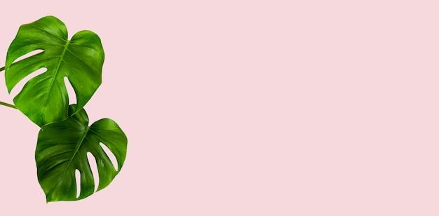 Folhas verdes da planta monstera tropical em uma parede rosa com um espaço de cópia