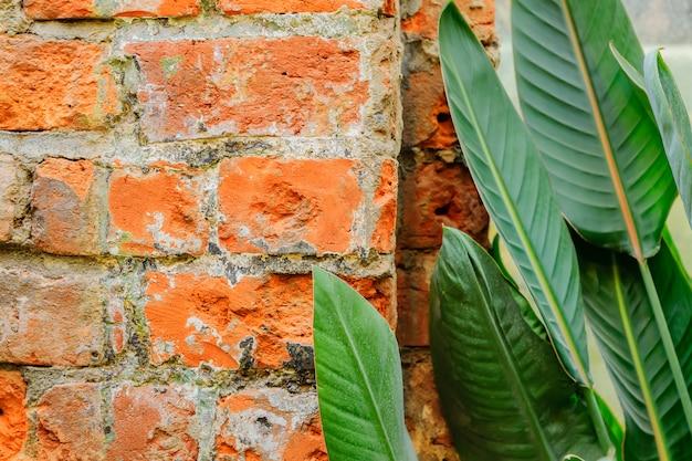 Folhas verdes da planta tropical ao lado da parede de tijolo do sotão.