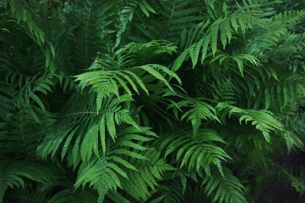 Folhas verdes da samambaia com pingos de chuva em tropical.