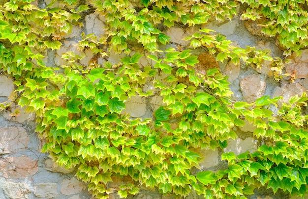 Folhas verdes da trepadeira de uva solteira no fundo da parede de pedra