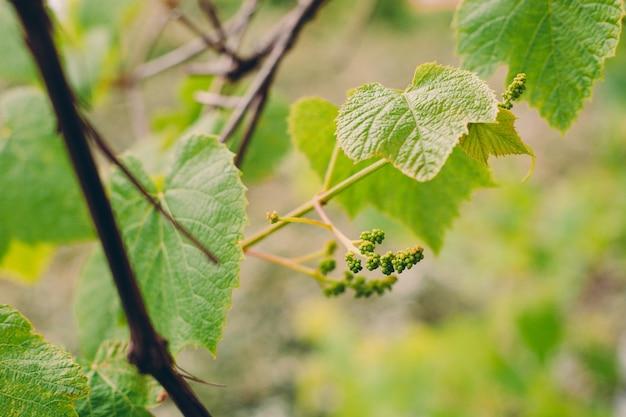 Folhas verdes da uva e close up do grão. fundo de temporada de verão ou primavera com folhas de videira. conceito de natureza