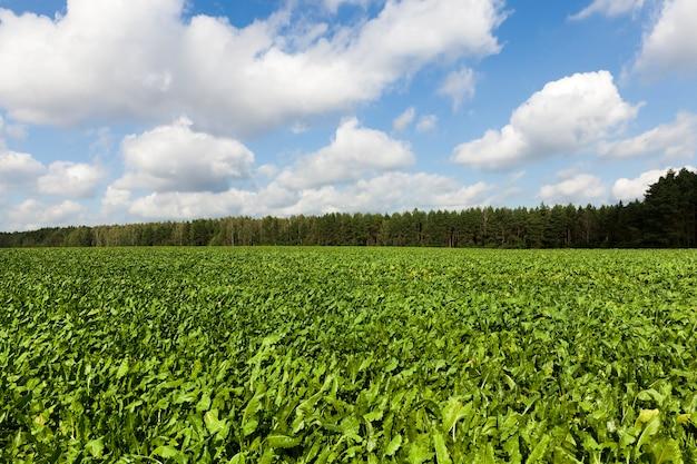 Folhas verdes de beterraba jovem no campo, paisagem de verão
