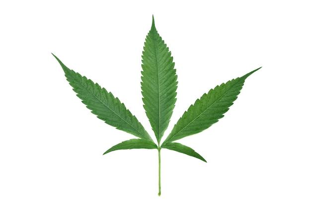 Folhas verdes de cannabis e gotas de água isoladas no fundo branco