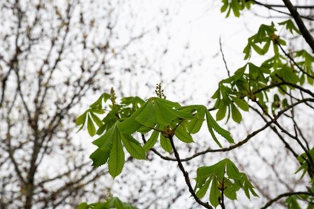 Folhas verdes de castanheiro no início da primavera, nova vida