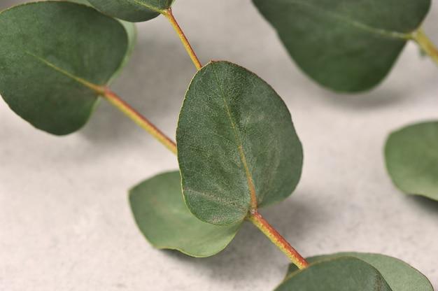 Folhas verdes de eucalipto em um cinza