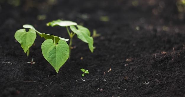 Folhas verdes de feijão de planta haricot após chuva com orvalho em solo preto. cultivo de vegetais em casa na primavera.