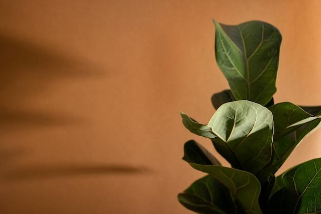 Folhas verdes de fiddle fiddle ou ficus lyrata fiddleleaf fig tree a popular casa tropical ornamental ...