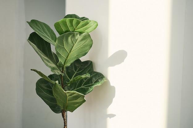 Folhas verdes de fiddle fig ou ficus lyrata. fiddle-leaf fig tree, a popular planta de casa tropical ornamental em fundo de parede branca