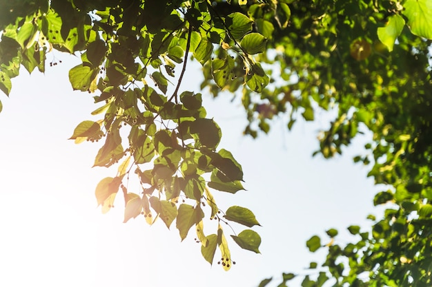 Folhas verdes de fundo de verão e primavera de uma árvore no contexto do sol e do céu azul.