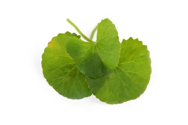 Folhas verdes de gotu kola isoladas em um fundo branco.