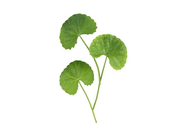 Folhas verdes de gotu kola ou centella asiatica isoladas no branco com traçado de recorte.