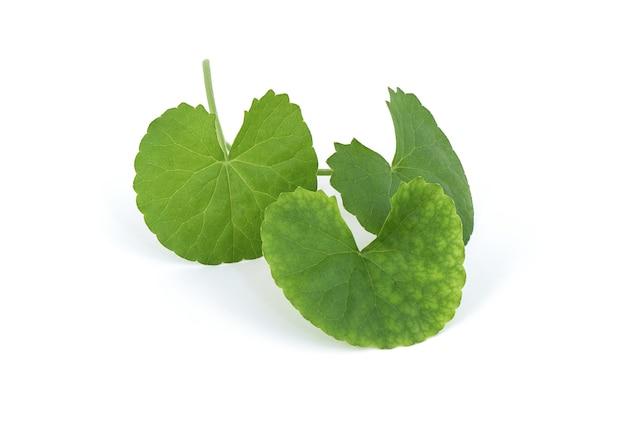 Folhas verdes de gotu kola ou centella asiatica isoladas no branco.