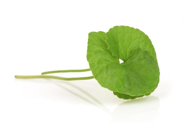 Folhas verdes de gotu kola ou centella asiatica isoladas no fundo branco.