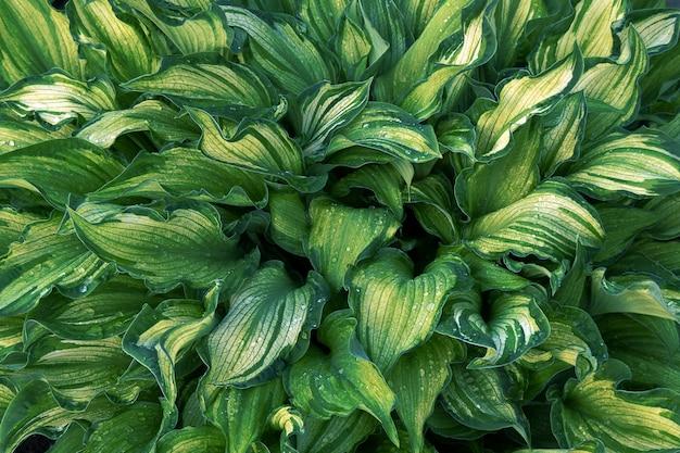 Folhas verdes de hosta com listras brancas e gotas de água, close-up, macro fotografia