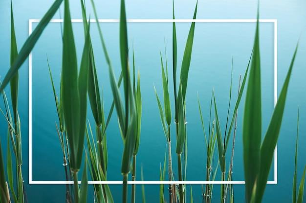 Folhas verdes de junco no lago azul
