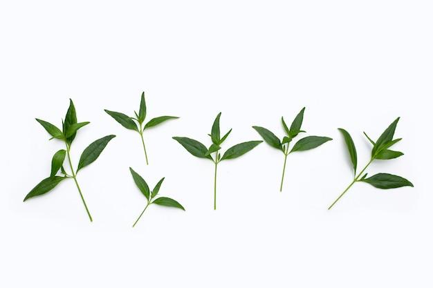 Folhas verdes de kariyat ou andrographis paniculata em fundo branco.