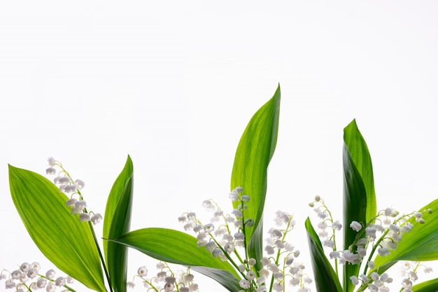 Folhas verdes de lírios do vale isolados no branco