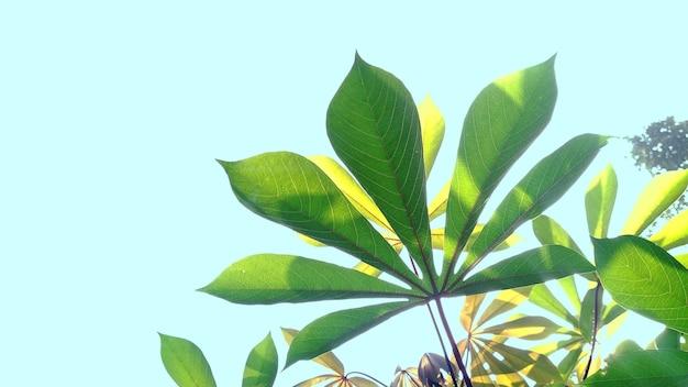 Folhas verdes de mandioca no fundo do céu