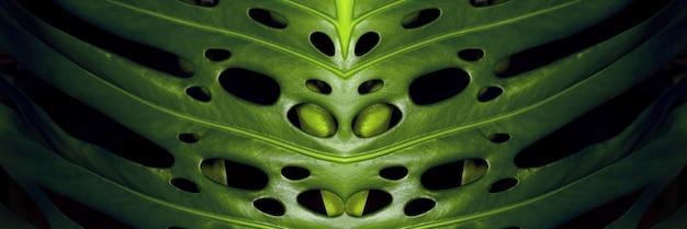 Folhas verdes de monstera em fundo preto, imagem panorâmica