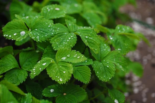 Folhas verdes de morango sob chuva cai