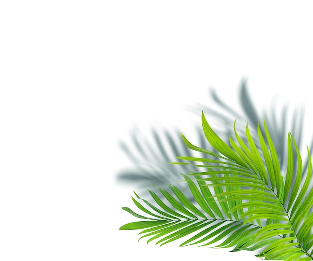 Folhas verdes de palmeira em fundo branco