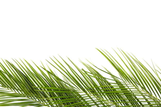 Folhas verdes de palmeira isolada