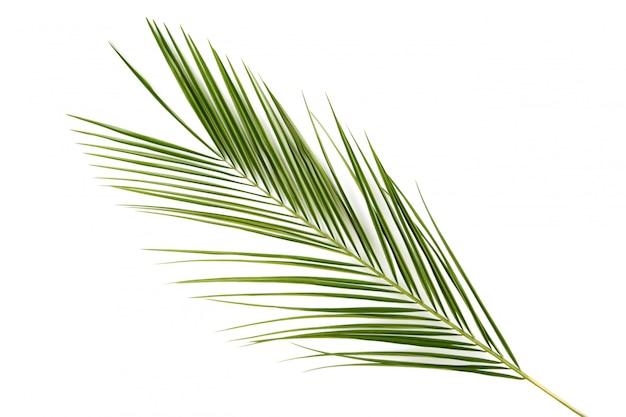 Folhas verdes de palmeira isolado no fundo branco