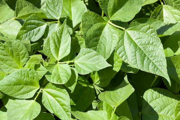 Folhas verdes de pimenta na primavera. bela foto de close-up. profundidade de campo pequena