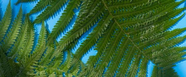 Folhas verdes de samambaia em um fundo de água azul sob luz natural. vista superior, configuração plana. bandeira.