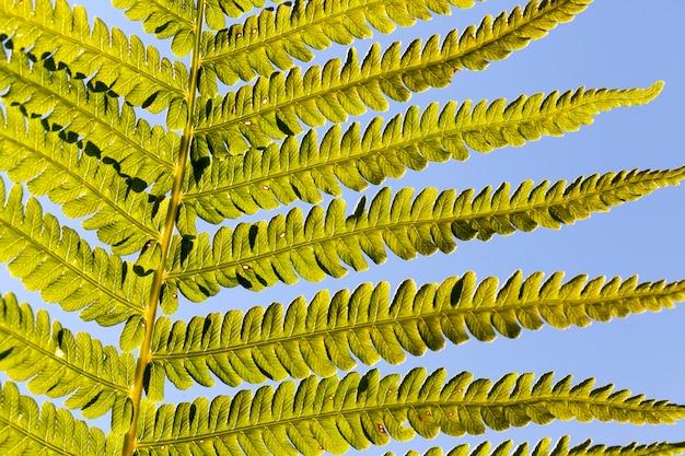 Folhas verdes de samambaia sob a luz do sol, planta de samambaia na floresta no verão