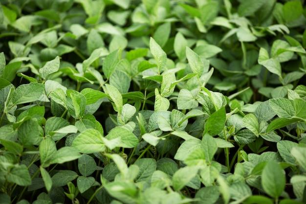 Folhas verdes de soja. legumes e alimentação saudável. indústria agrícola.