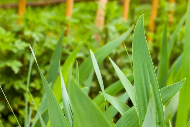 Folhas verdes de tulipa, close-up da planta