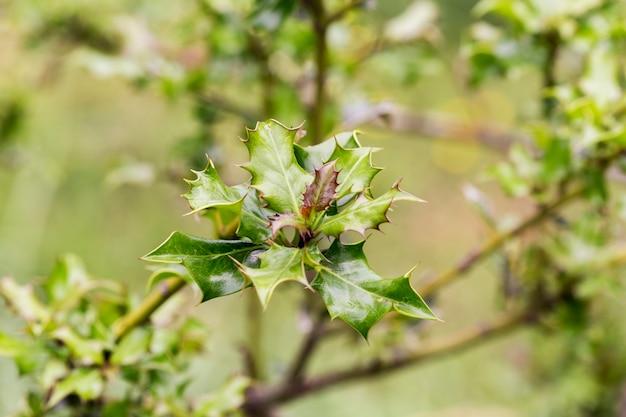 Folhas verdes de um azevinho com fundo verde fora de foco