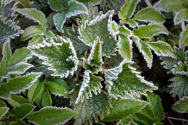 Folhas verdes de urtiga com gelo após a geada matinal